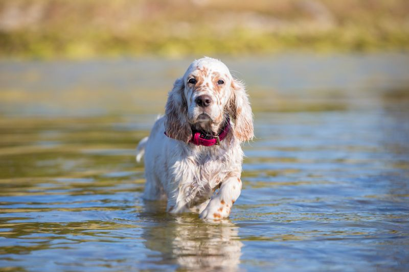 English Setter puppys portrait. Puppy stands in the sea.