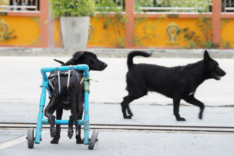 The disabled dog on a wheelchair is attached to the back leg