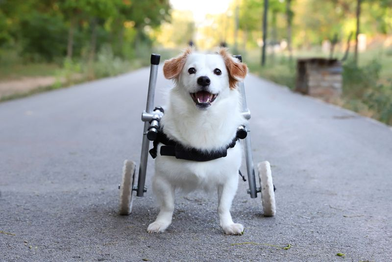 A paralyzed dog stands on its own, enjoying the ride and getting the exercise it needs thanks to its wheelchair.