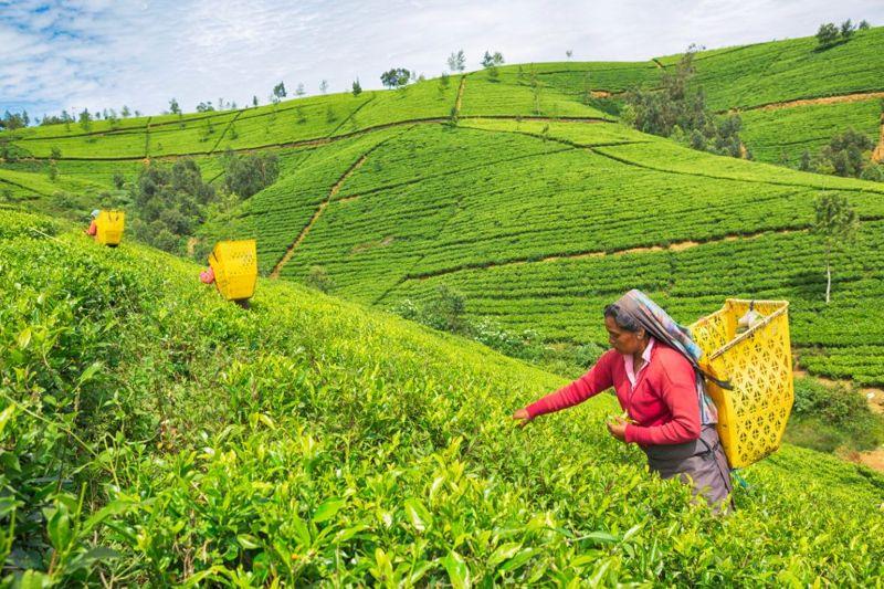 woman picking tea leaves in fields in Sri Lanka