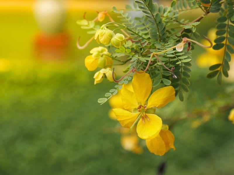 senna flowers on a bush