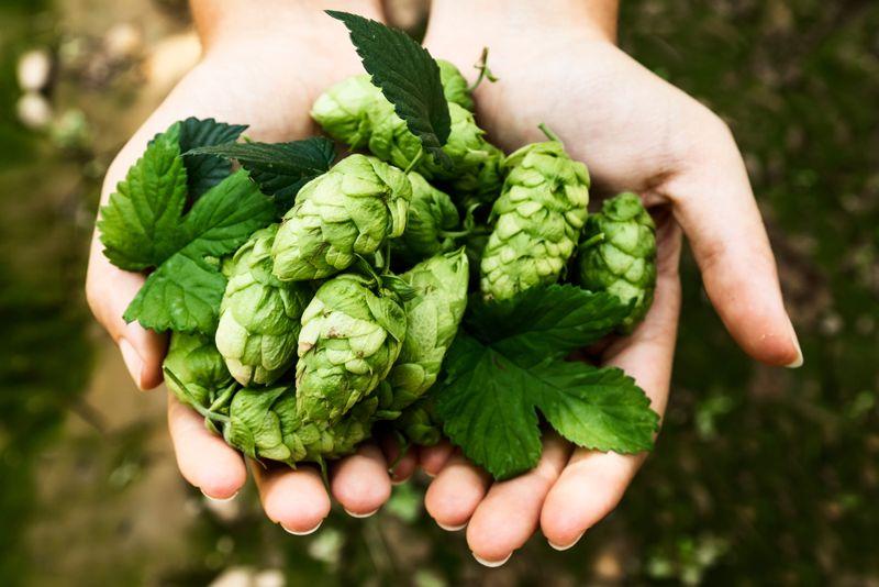 woman's hands holding fresh hops