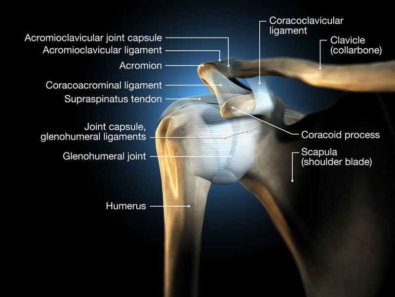 illustration of shoulder anatomy