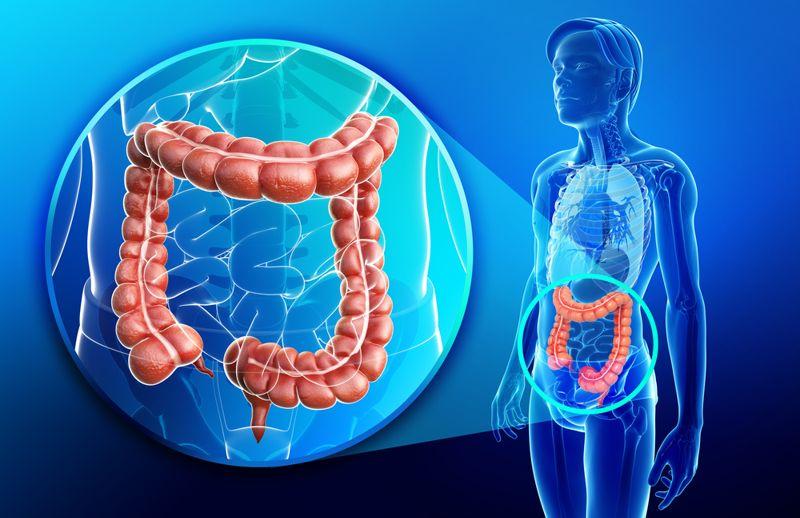 digital illustration of the large intestine