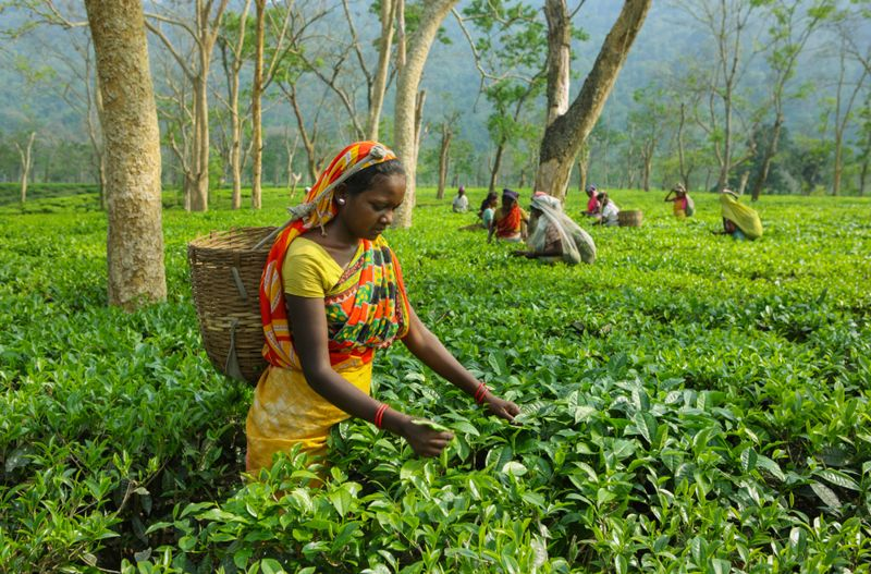 woman in india harvesting assam tea