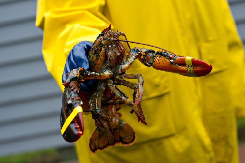 fresh caught lobster