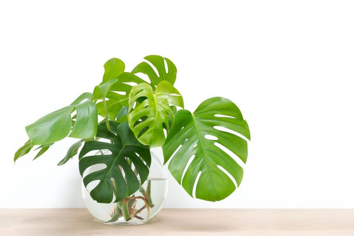 philodendron water jar