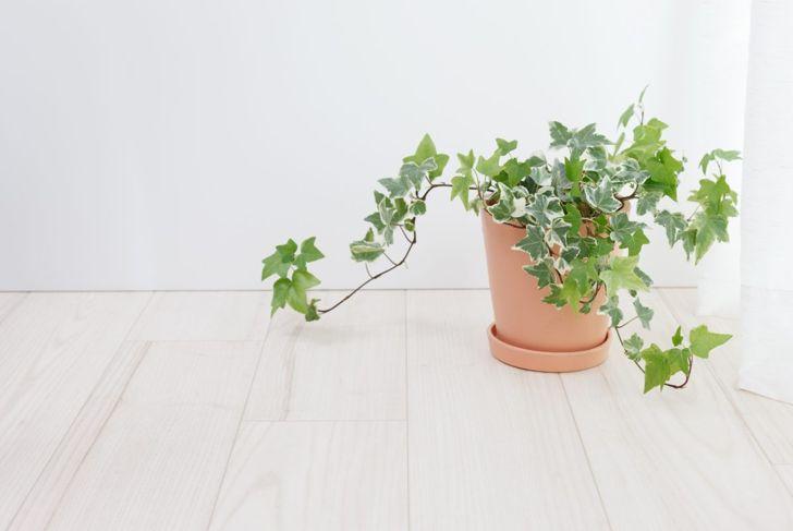 English ivy air purifying plants
