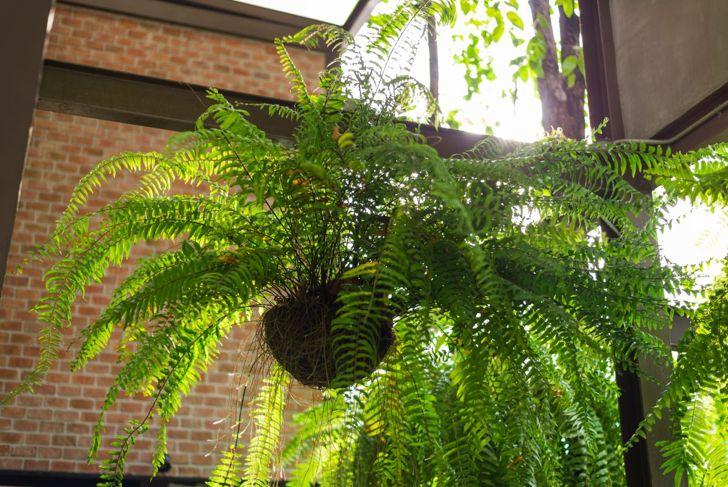 boston fern hanging pot