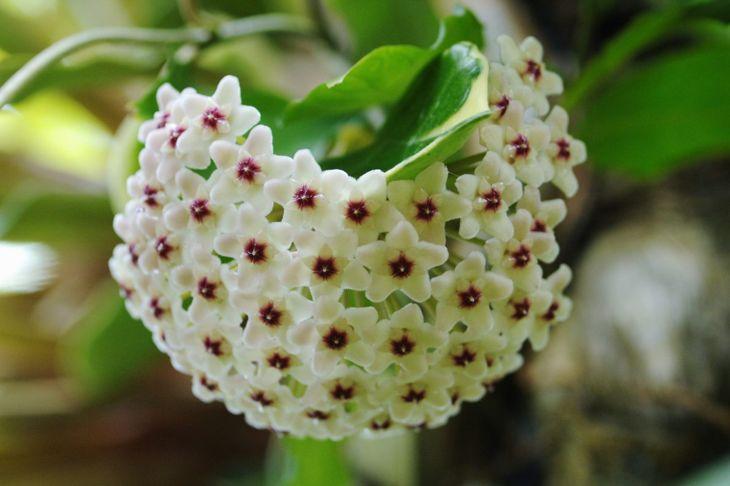 Non-Toxic Wax Plant