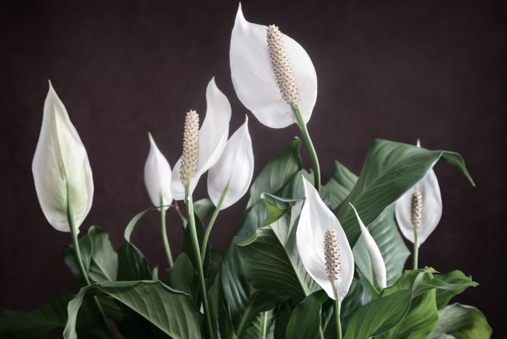 Peace lilies air purifying plants