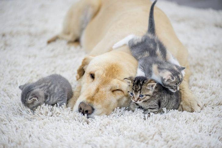 A golden retriever and three kittens