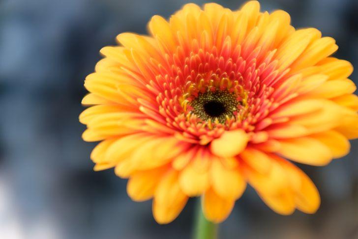 Botany, Yellow Gerbera flower, Daisy.Colorful. Selective focus used. Keukenhof