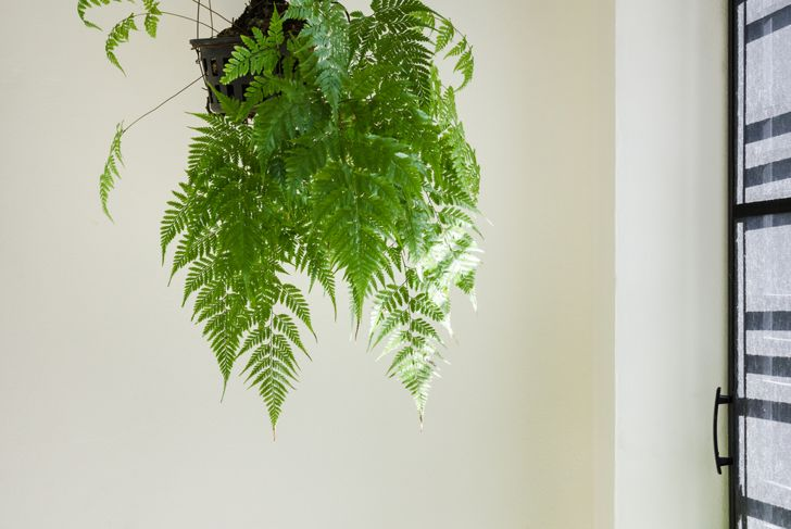 Ferns hanging by the window