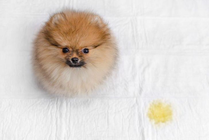 A pomeranian standing next to a urine spot on a puppy pad