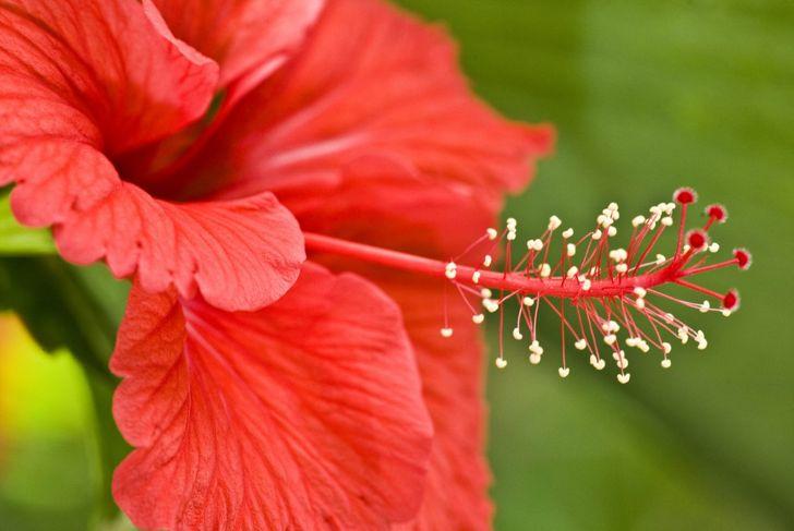 Hibiscus Red Attract Hummingbirds
