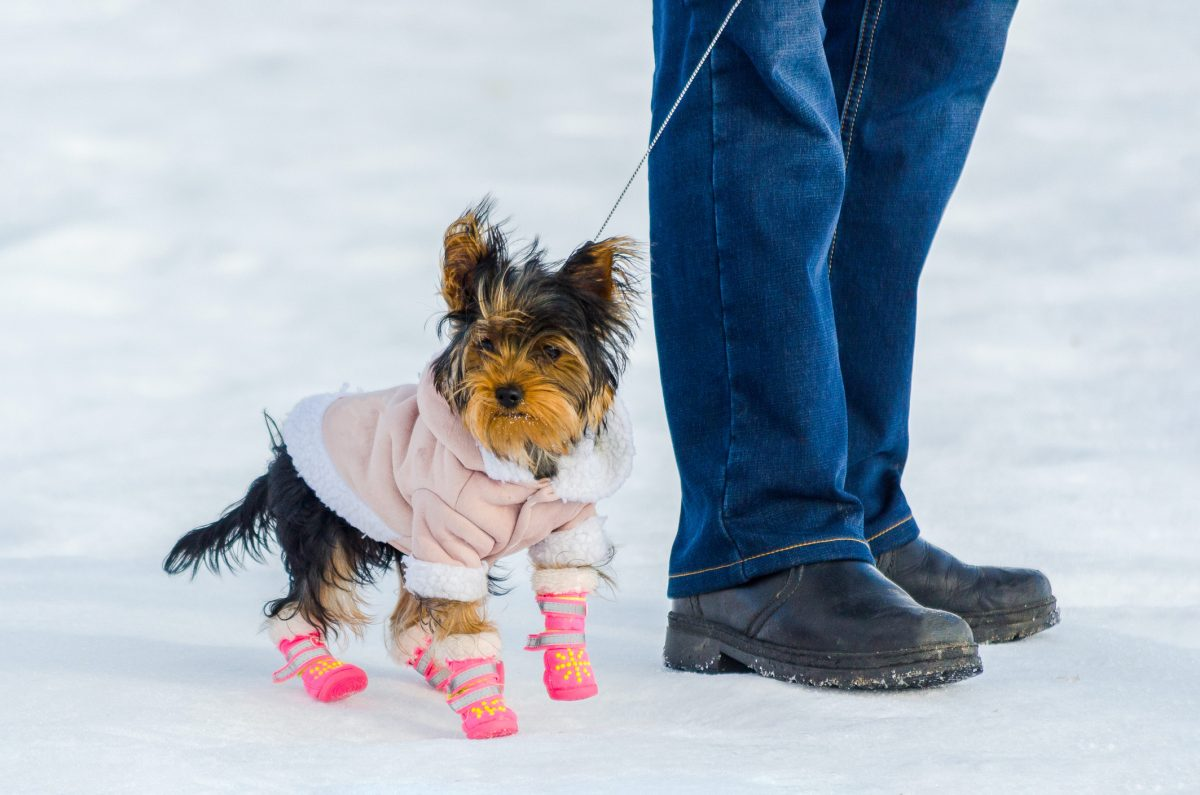 A dog wearing boots in the snow.