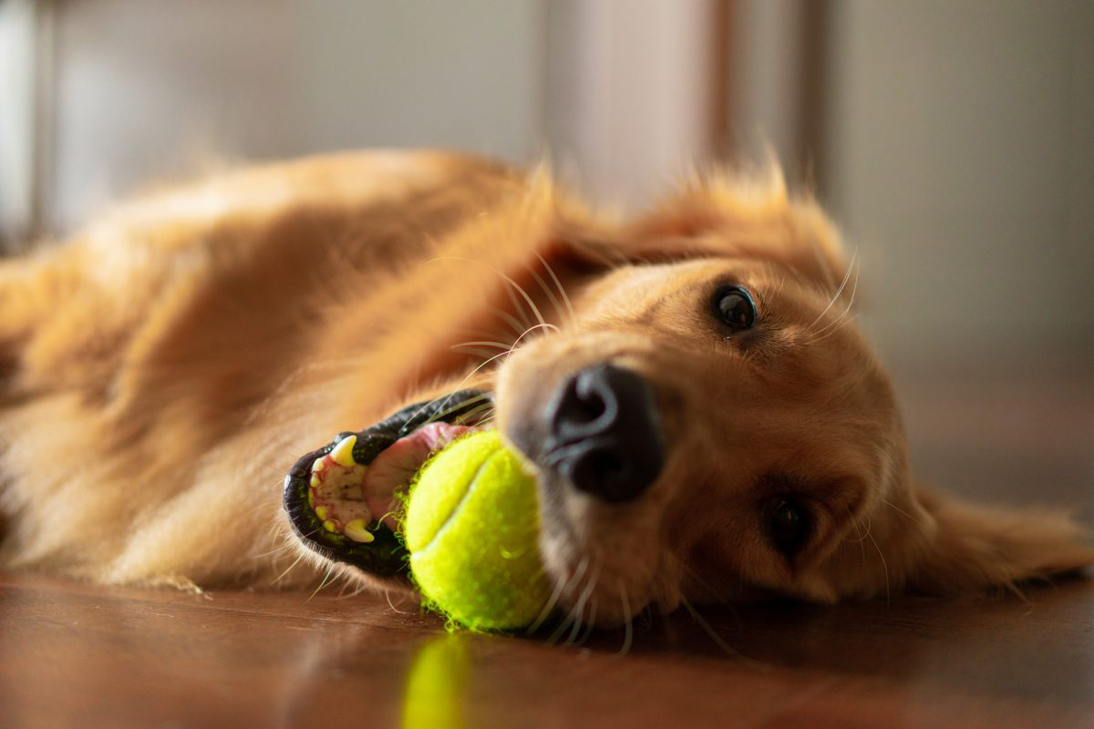 A dog playing fetch indoors.