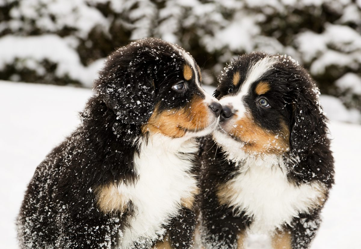 Two puppies in the snow.