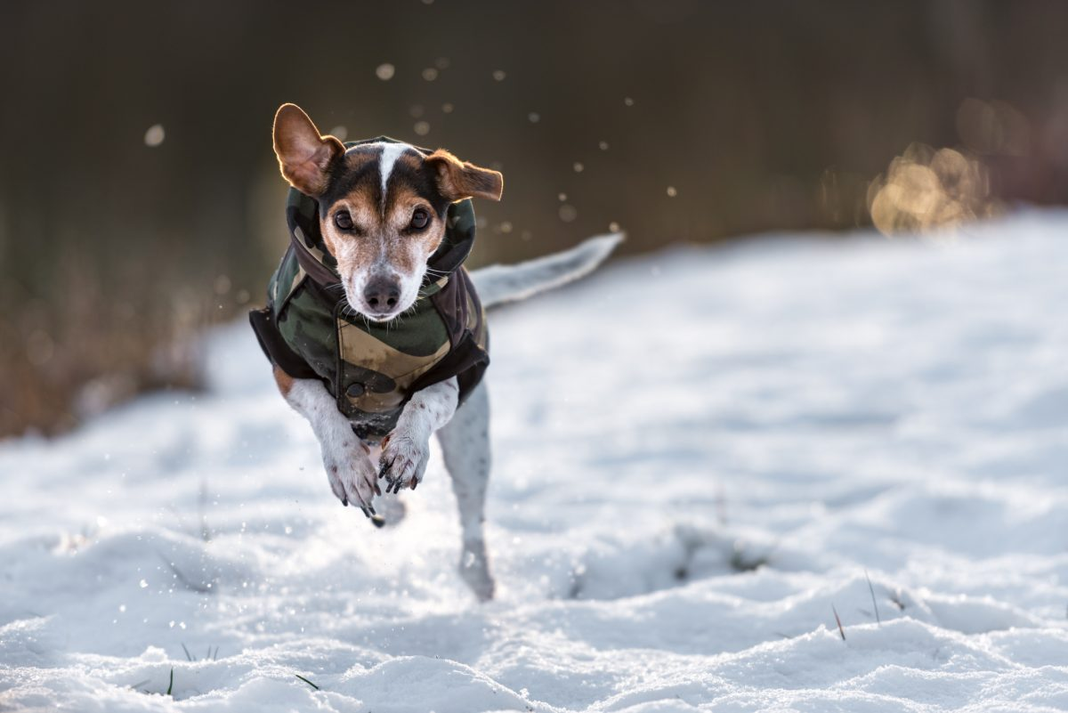 A dog running in a coat.