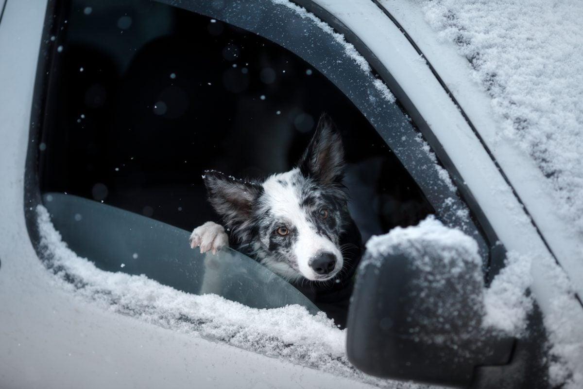 A dog in a snowy car.
