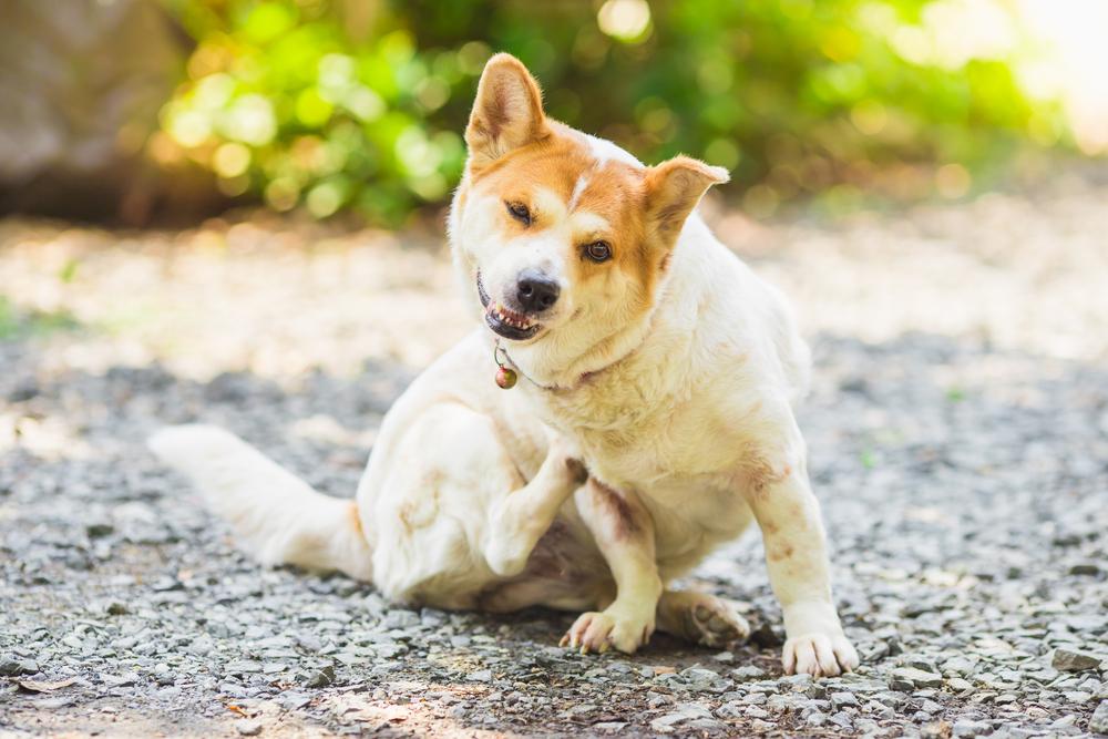 ringworm dog
