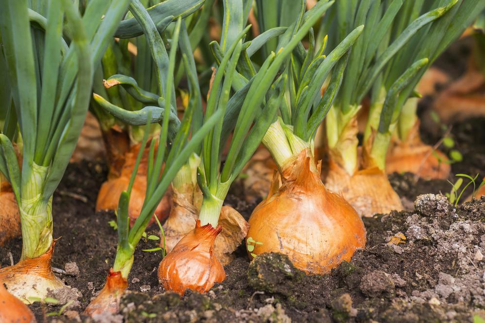 vitamins onions