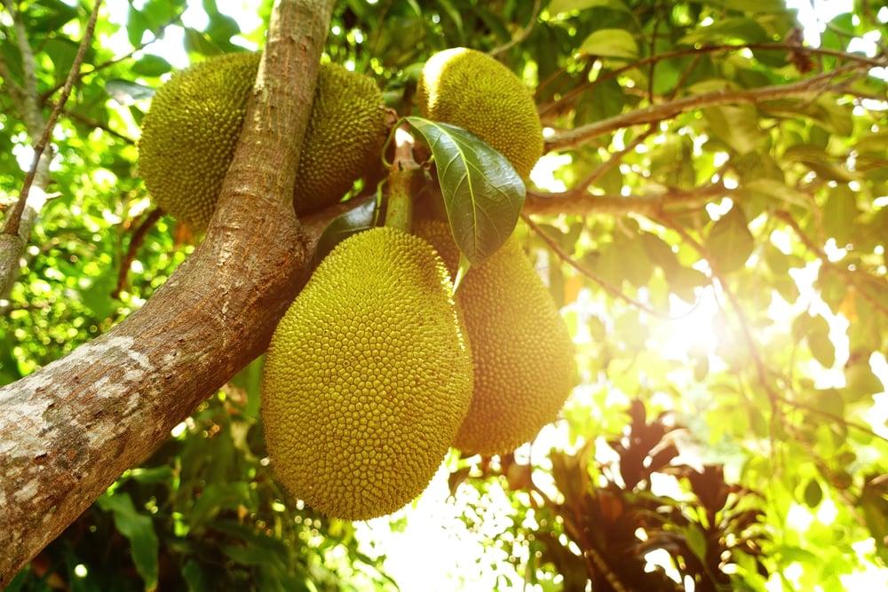 immune system Jackfruit
