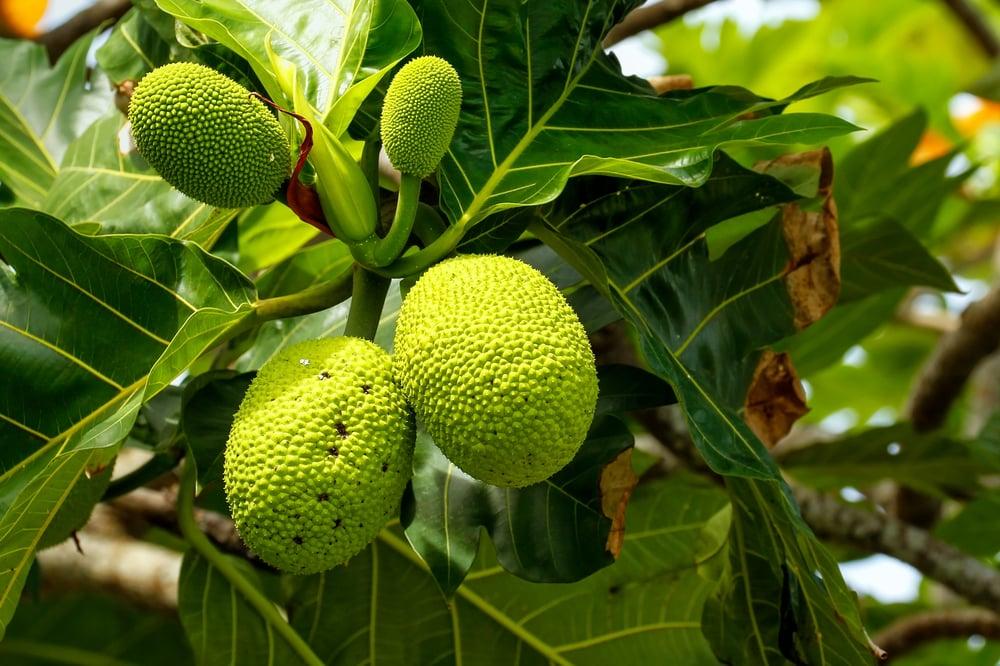 omega 3 Breadfruit