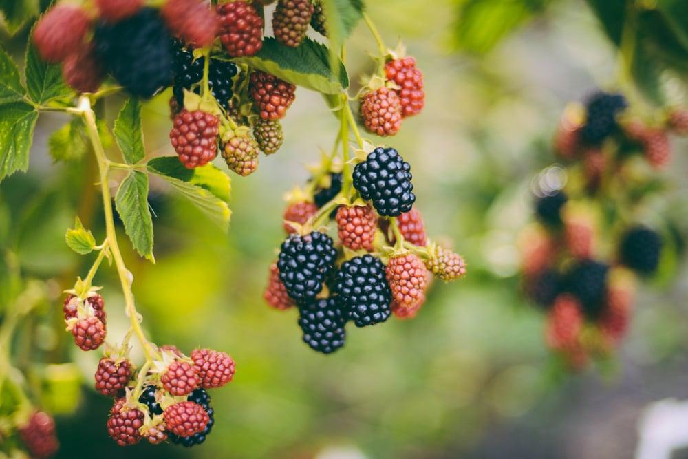 vision eat blackberries