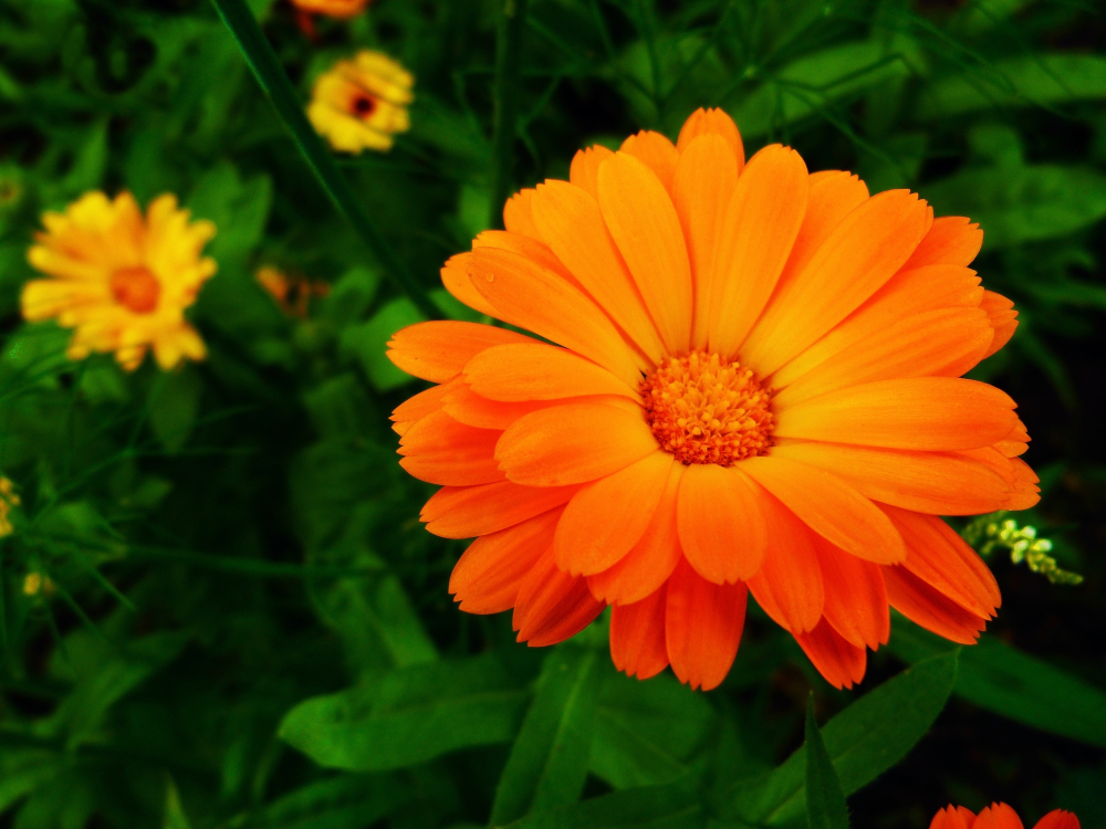 Brings effective relief from arthritis pain Marigolds