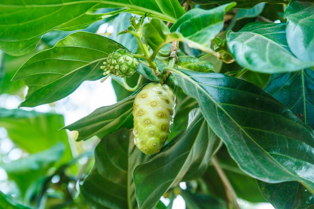 Fights Pain Associated with Tumors noni juice