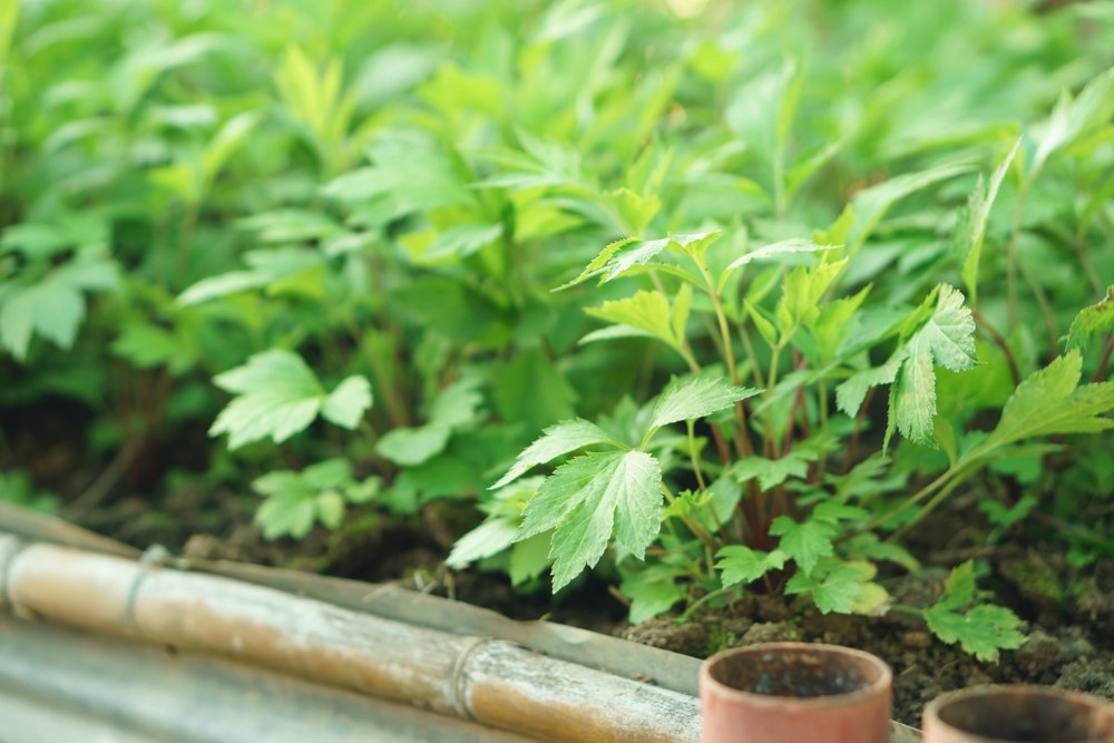 How mugwort might improve mental wellbeing