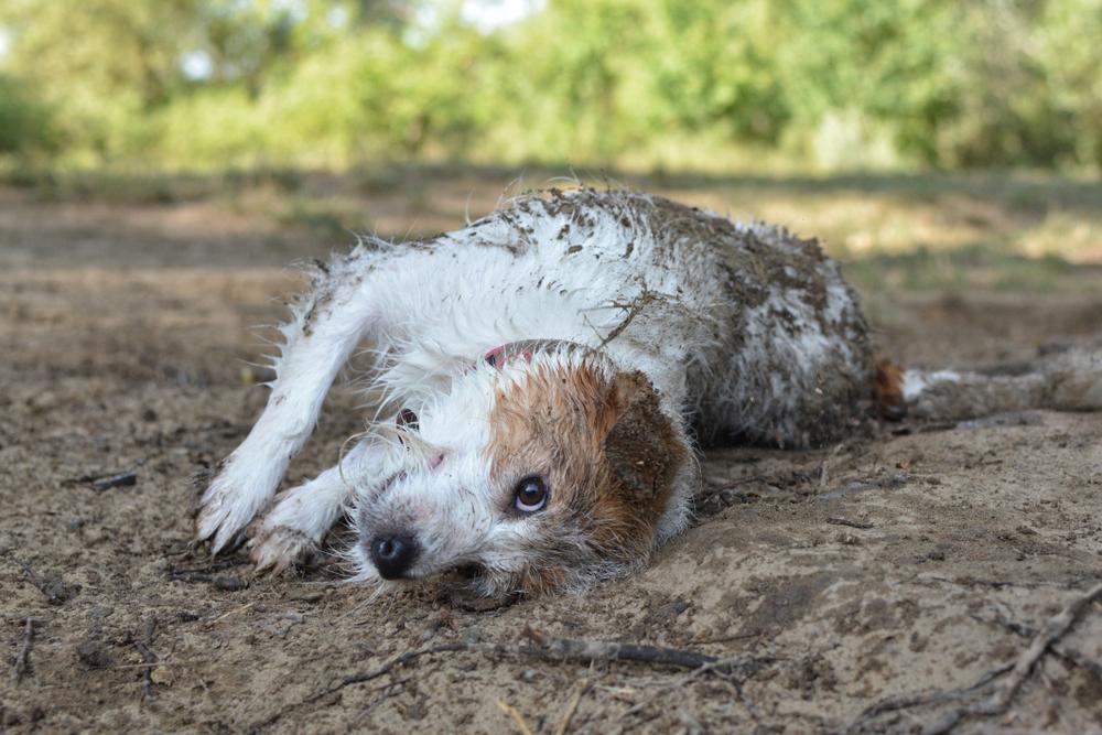 canine Hookworms risks