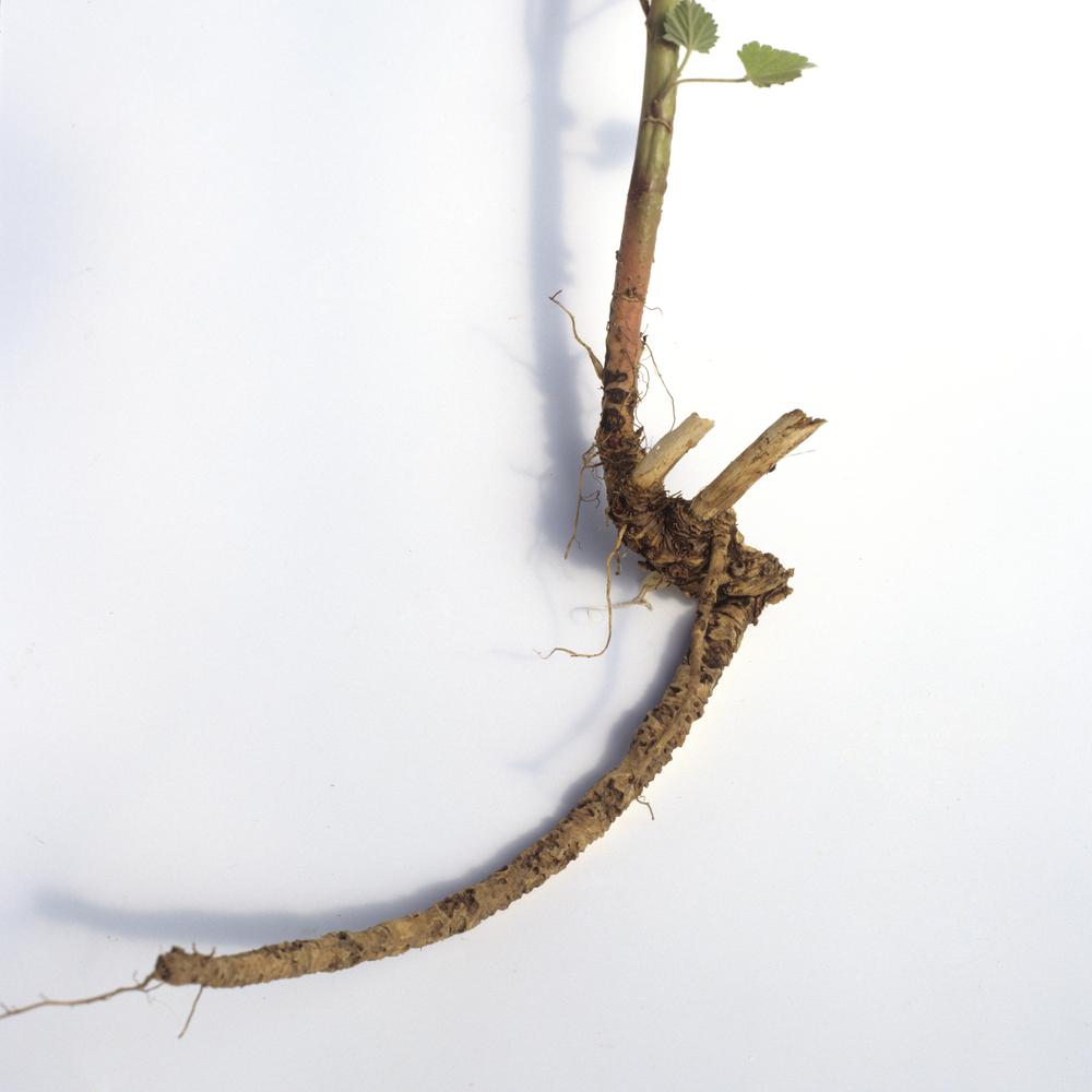 irritation Marshmallow root