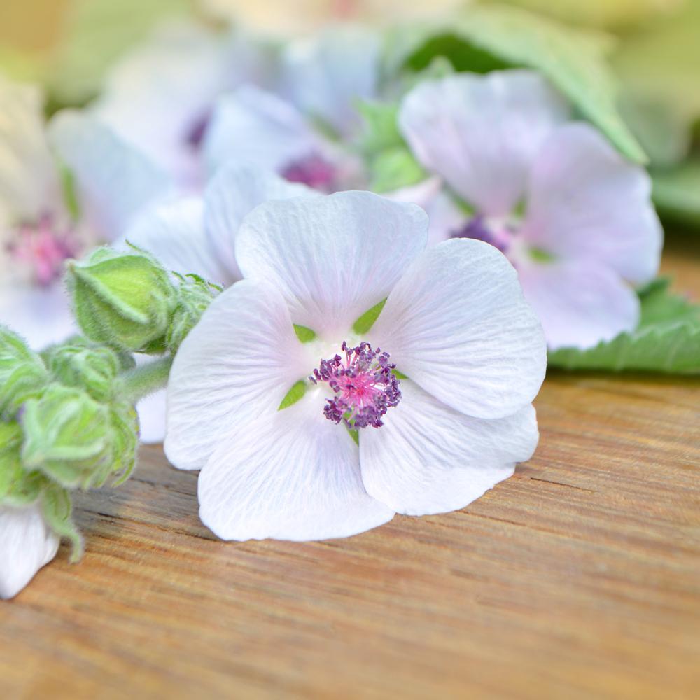 medicinal Marshmallow root