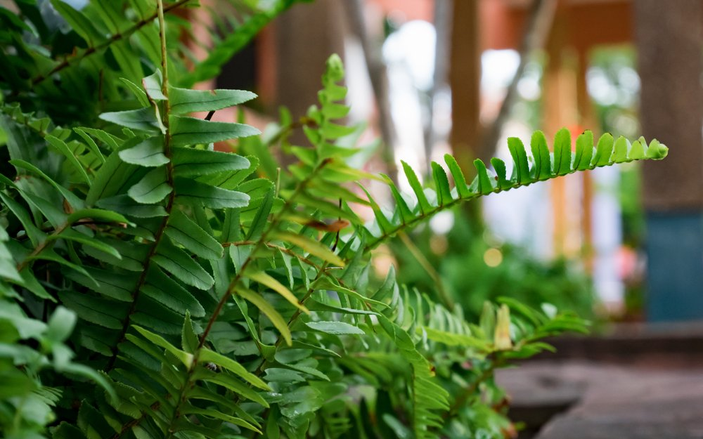 Kimberly Queen Fern air purifying