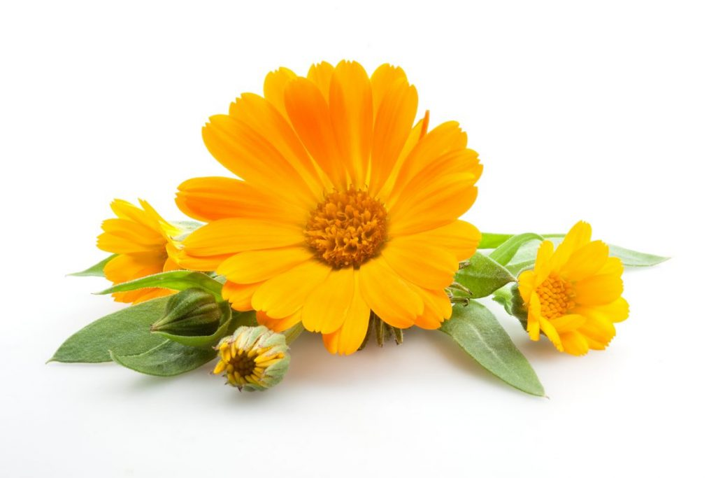 calendula oil Shingles