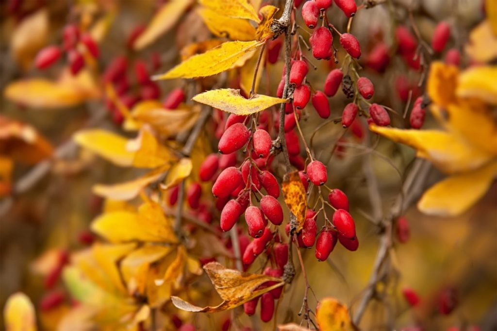 barberry tree