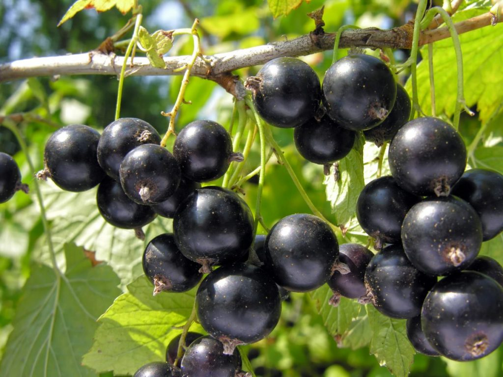 health benefits of blackcurrants