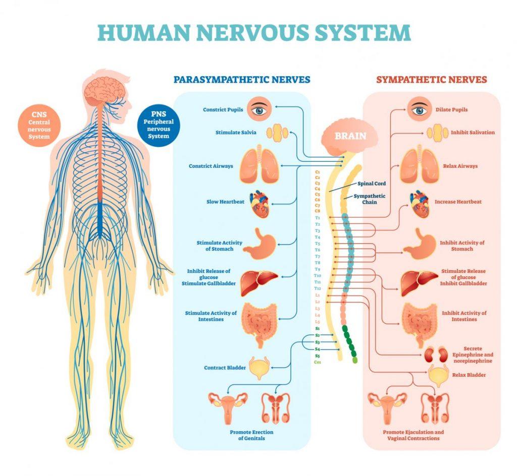 nervous system spinal nerves