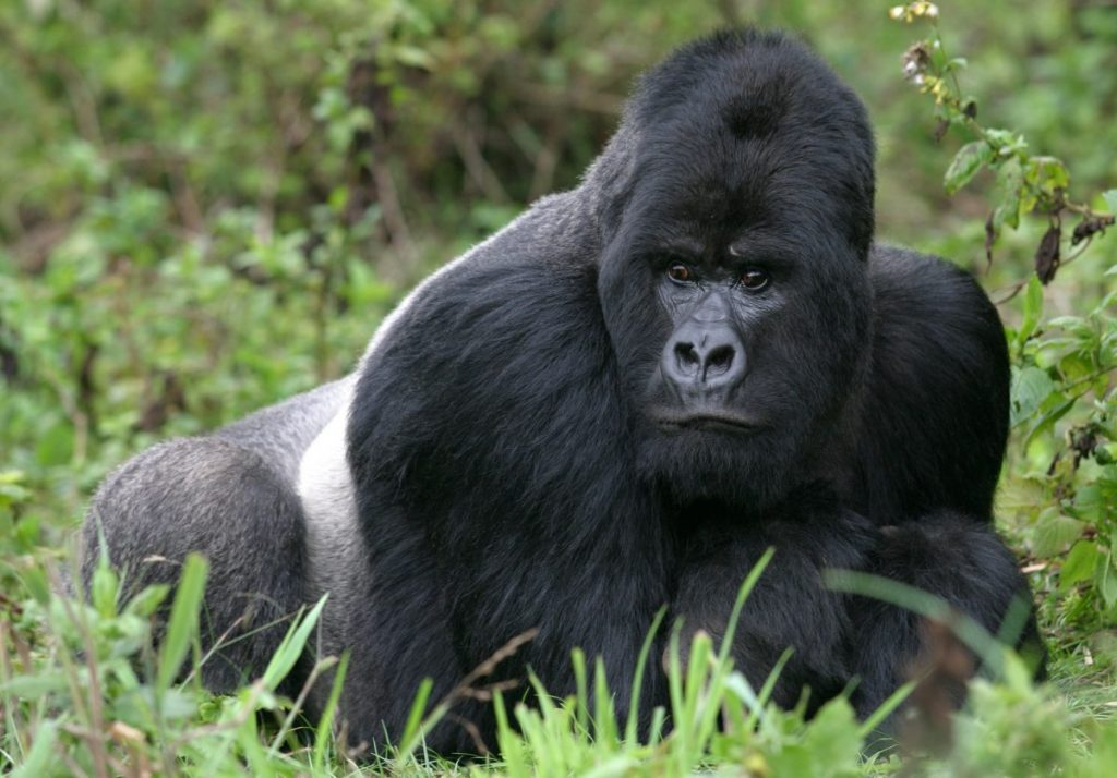 gorilla animal kingdom