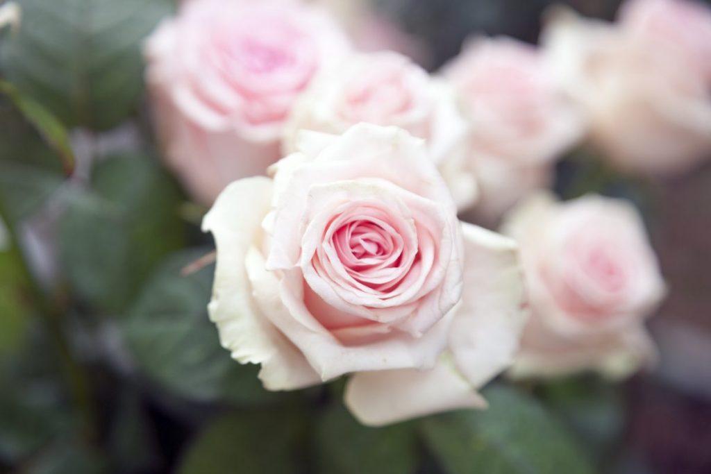 McKinley Rose Garden