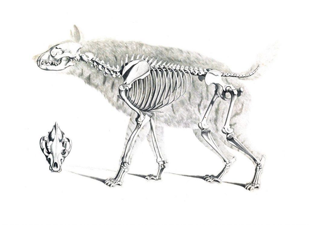 dire wolf skeletons