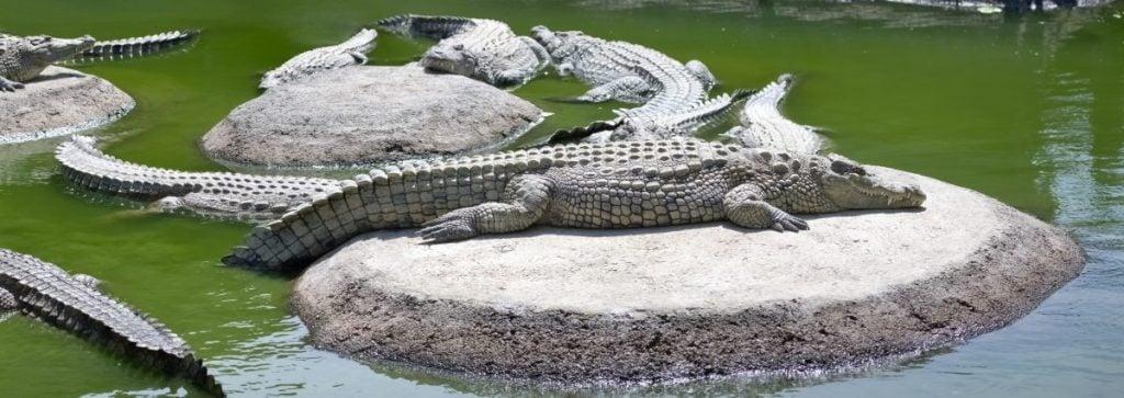 crocodile size