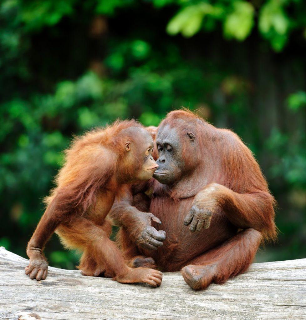 orangutans famous endangered species