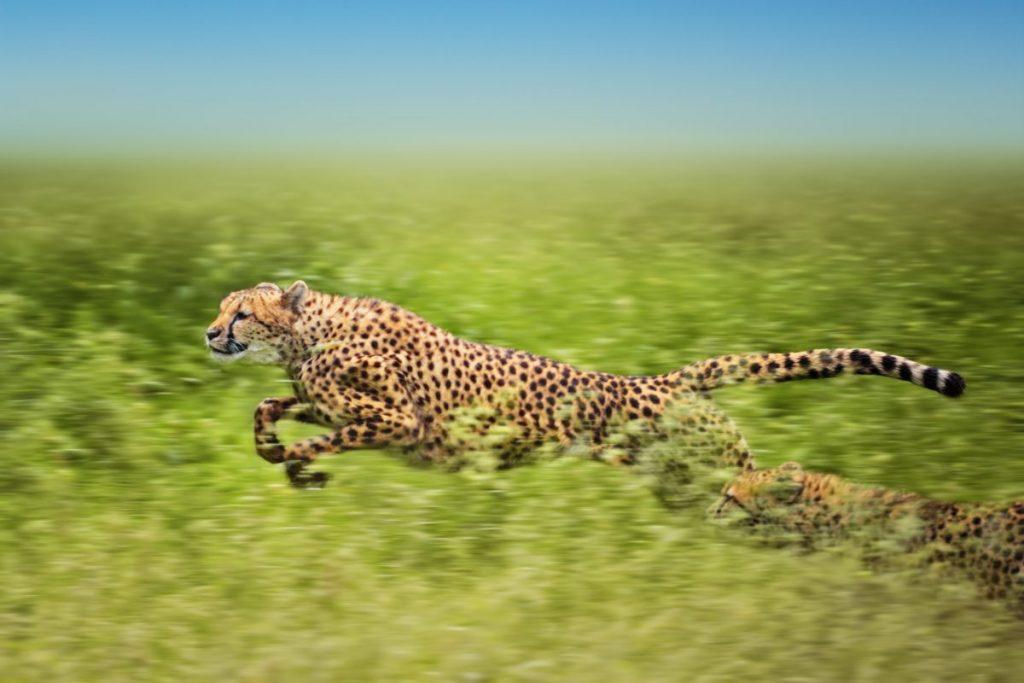 cheetah Fastest Animals