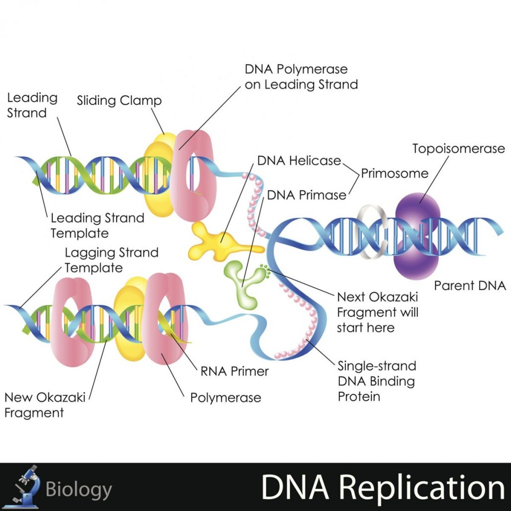 DNA Cell theory