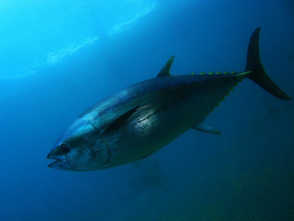 bluefin famous endangered species