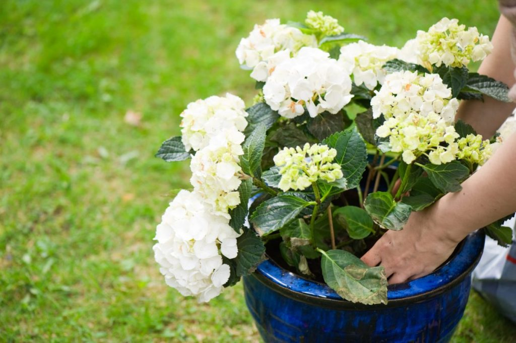 benefits of hydrangea